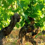 cep de vigne de Marcillac