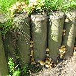 Hübsche Pilzbildung an Palisadenhölzern