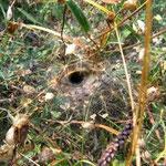 Trichternetzspinne