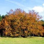 Schäferbuche im Herbst