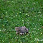 Maschio di gatto selvatico, in caccia in una radura al margine di un bosco, Slovenia.