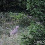 Gatto selvatico, al margine di un bosco di conifere sorpreso alle ultime luci del giorno. Slovenia.
