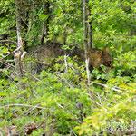 Gatto selvatico sorpreso nella fitta vegetazione. Parco Nazionale d'Abruzzo Lazio e Molise.