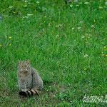 Maschio di gatto selvatico,  Slovenia.