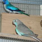 maschio blu a petto bianco x femmina argento