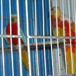 coppia di turchesi opalini gialli