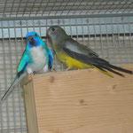 maschio blu a petto bianco x femmina grigio verde