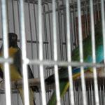 maschio grigio verde petto albicocca x femmina ancestrale