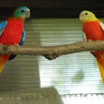 coppia di turchesi opalini maschio verde x femmina gialla