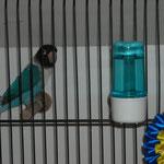 personata blu