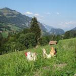 Unsere Chabos Hühner, ursprünglich stammen sie aus Japan, doch bei uns fühlen sie sich sehr wohl.