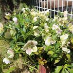 クリスマスローズもたくさん咲きました。これから夏越えの準備に入ります。