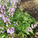 こちらも越冬組のセージです。 セージも花が咲くこと初めて知りました。 花言葉は「家族愛」 素敵ですね。