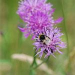 Distel mit Biene