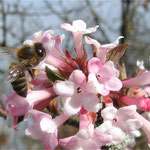 Winterschneeball mit Biene