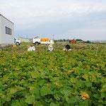 内畑の芋掘り作業