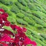 Cameron Highland - Teeplantagen