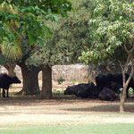 Buffaloes in the shade of trees, in the school grounds