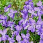 Veilchen als Frühlingsboten