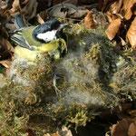 Und nochmal eine tote Kohlmeise wurde in diesem Nistkasten mit ungewöhnlichem Nistmaterial gefunden.
