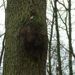 Hier hat sich der Baum gegen einen Baumläuferkasten gewehrt. Dieser musste abgehängt werden.
