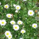 Gänseblümchen am Wegesrand