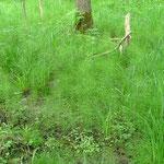 Feuchtes Waldgebiet Kleinsachsenheim Großholz 17.05.2008