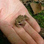 Eine junge Erdkröte wurde im Wald entdeckt.