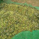 Oliven zusammen gezogen