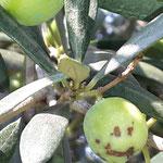 Glückliche Olive