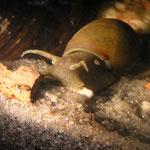 Spitzschlammschnecke (Lymnea stagnalis)