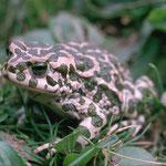 Wechselkröte (Bufotes viridis, Syn.: Bufo viridis) nicht am Weihergrundstück