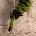 Larve der Köcherfliege (Limnephilus flavicornis)