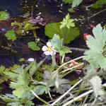 Wasserhahnenfuß - Blüte