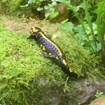 Feuersalamander (Salamandra salamandra ssp. terrestris)