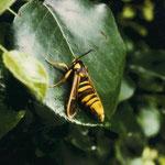 Hornissenschwärmer (Sesia apiformis)