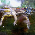 Gelbbauchunke (Bombina variegata) in typischer Ruhestellung = Kahnstellung