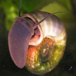 Posthornschnecke (Planorbarius corneus)