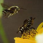 Luzerne-Blattschneiderbiene (Megachile rotundata) Weibchen, links oben Männchen im Anflug