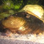 Große Teichmuschel (Anodnta cygnea)