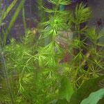 Hornblatt, Ceratophyllum demersum
