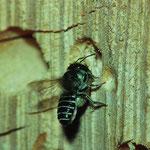 Luzerne-Blattschneiderbiene (Megachile rotundata) mit einem Blattstück zwischen den Beinen am Nesteingang (Insektenhotel)