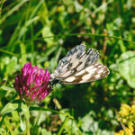 Schachbrettfalter (Melanargia galathea)