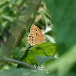 Schornsteinfeger (Aphantopus hyperanthus)
