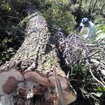 原木伐採から