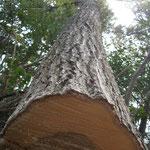 椎茸 原木伐採