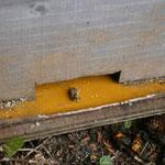 スズメバチに襲われた日本ミツバチの巣箱
