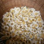 キウイフルーツ 人口受粉の準備