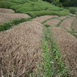 茶の木台刈り