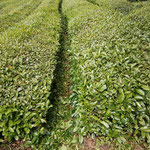 一番茶収穫後の刈落とし